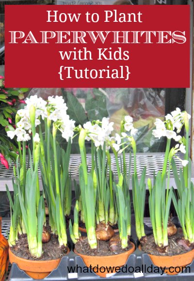 How to plant paperwhites indoors with kids for fragrant beautiful blooms. It's easy! Promise.