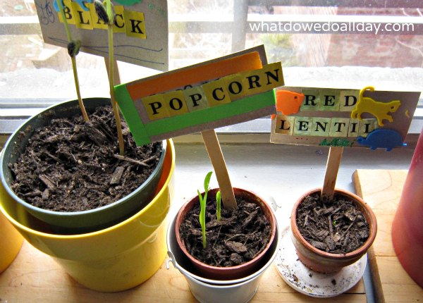 Growing beans and seeds indoors with kids