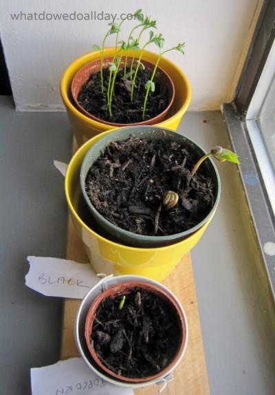 Indoor window garden for kids with beans