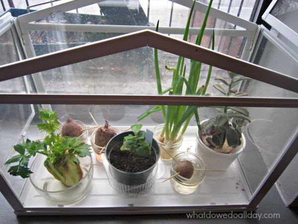 Fun plant science observations project for kids. Regrow veggies.