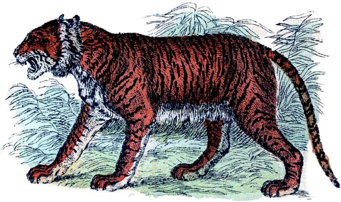 vintage tiger illustration